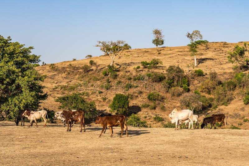 Touros perto das quedas azuis do Nilo, Tis-Isat do br?mane ou do gebo em Eti?pia fotos de stock royalty free