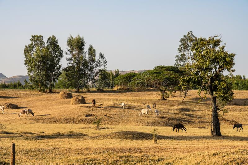 Touros perto das quedas azuis do Nilo, Tis-Isat do br?mane ou do gebo em Eti?pia imagem de stock