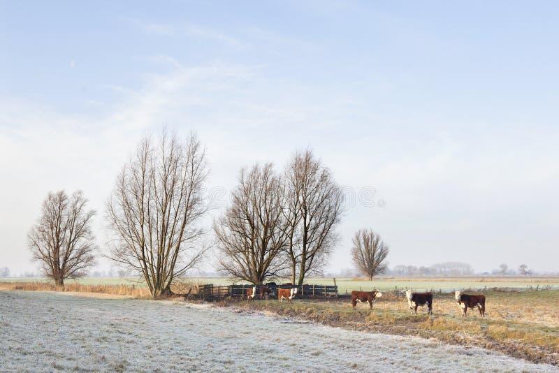 Touros vermelhos e brancos no prado invernal nas zona sujeitas a inundações de leks do rio fotografia de stock