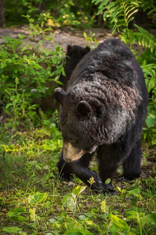Tours américanus d'Ursus d'ours noir de femelle adulte photo stock