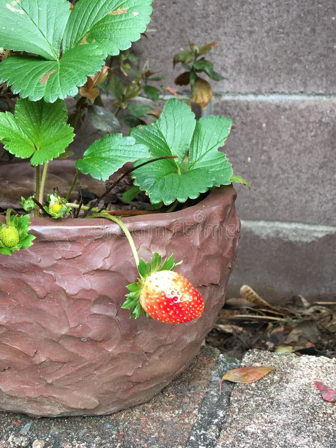 Toute première fraise photos stock