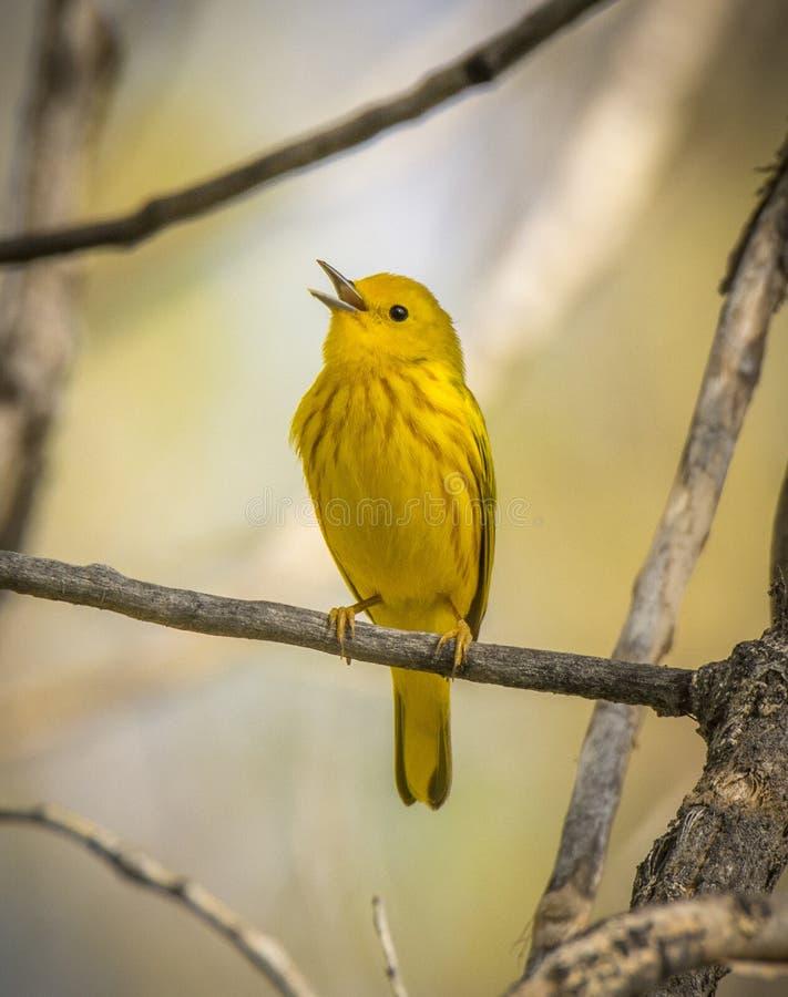 Toutinegra amarela do canto fotografia de stock
