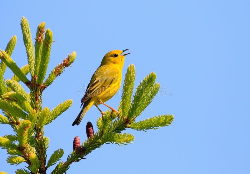 Toutinegra amarela masculina que canta sobre uma árvore imagens de stock royalty free
