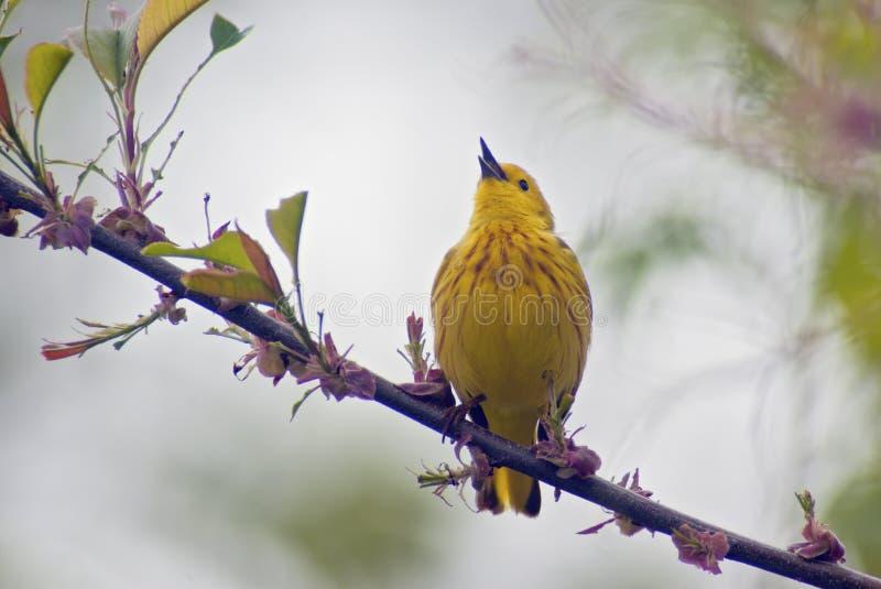 Toutinegra amarela que canta fotos de stock