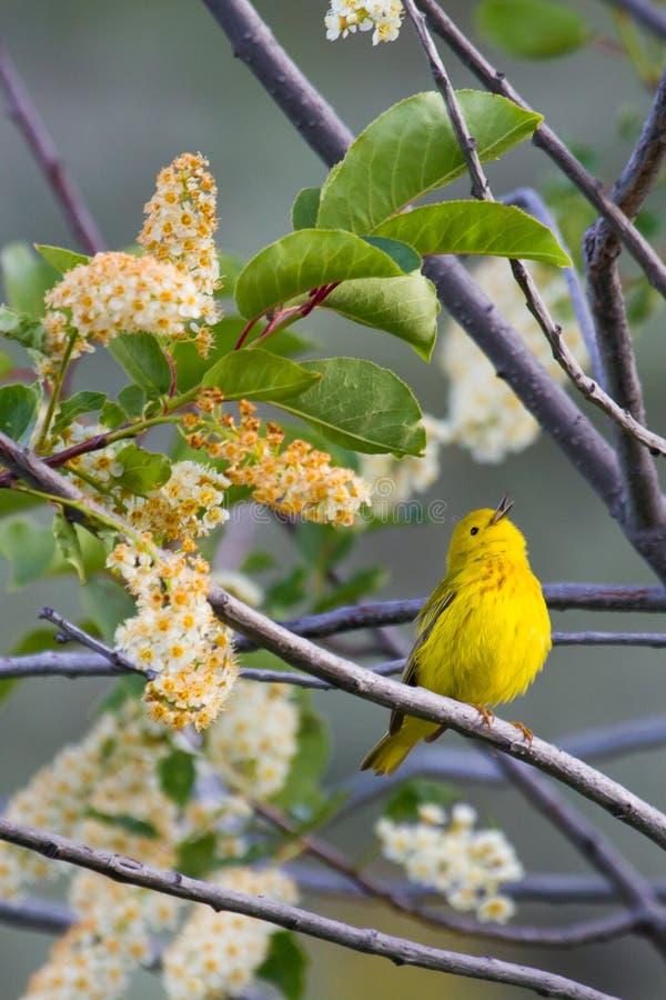 Toutinegra amarela que canta imagens de stock royalty free