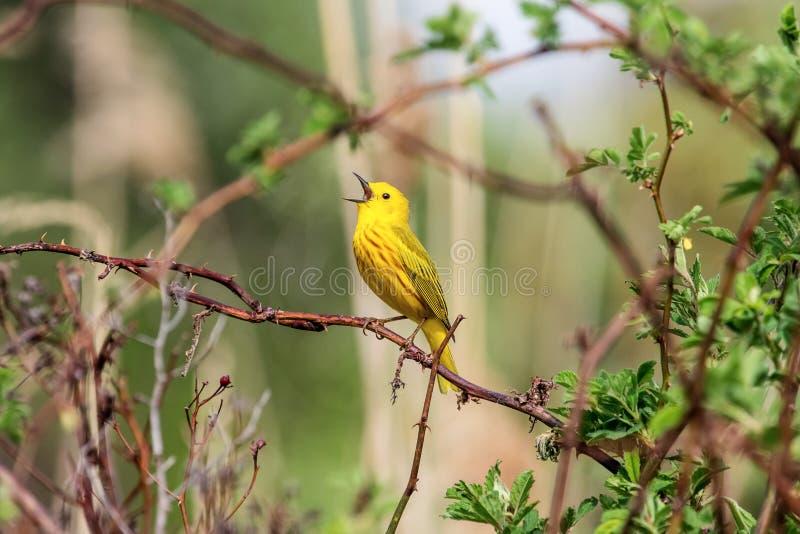 Toutinegra amarela que canta um acordo imagem de stock royalty free