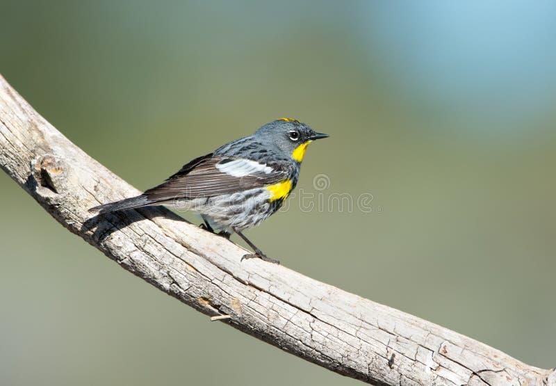 Toutinegra amarela-rumped - homem fotografia de stock
