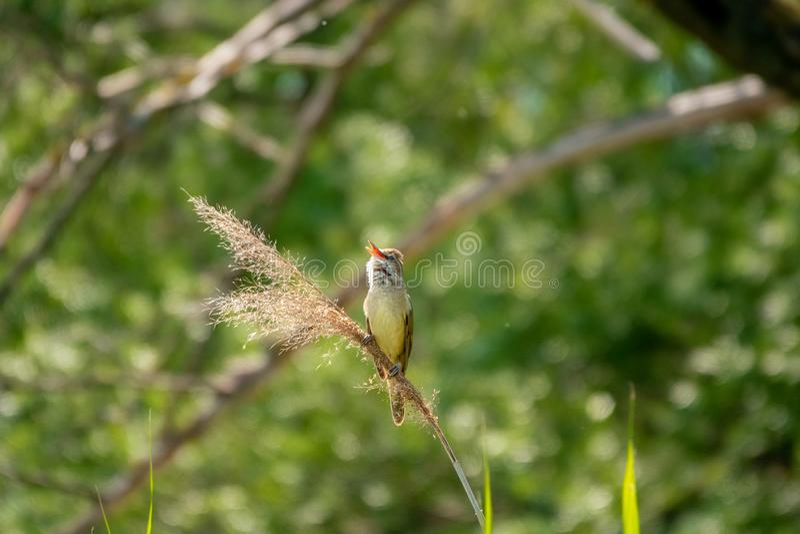 toutinegra do Grande-junco, arundinaceus do Acrocephalus, único pássaro no canto de lingüeta foto de stock