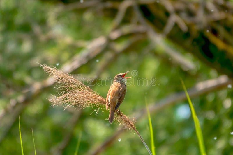 toutinegra do Grande-junco, arundinaceus do Acrocephalus, único pássaro no canto de lingüeta imagem de stock