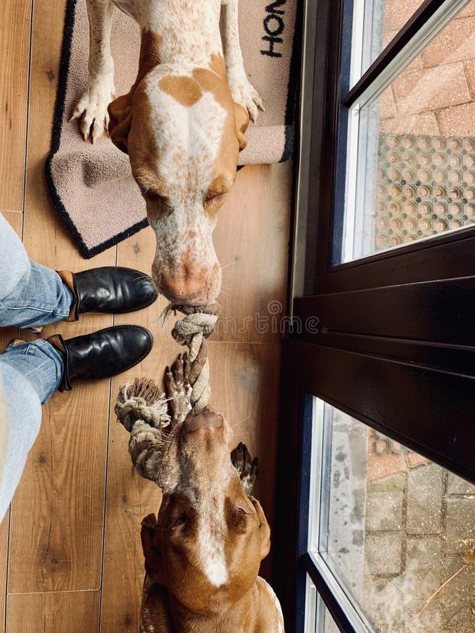 Touwtrekwedstrijd van een hond royalty-vrije stock afbeeldingen