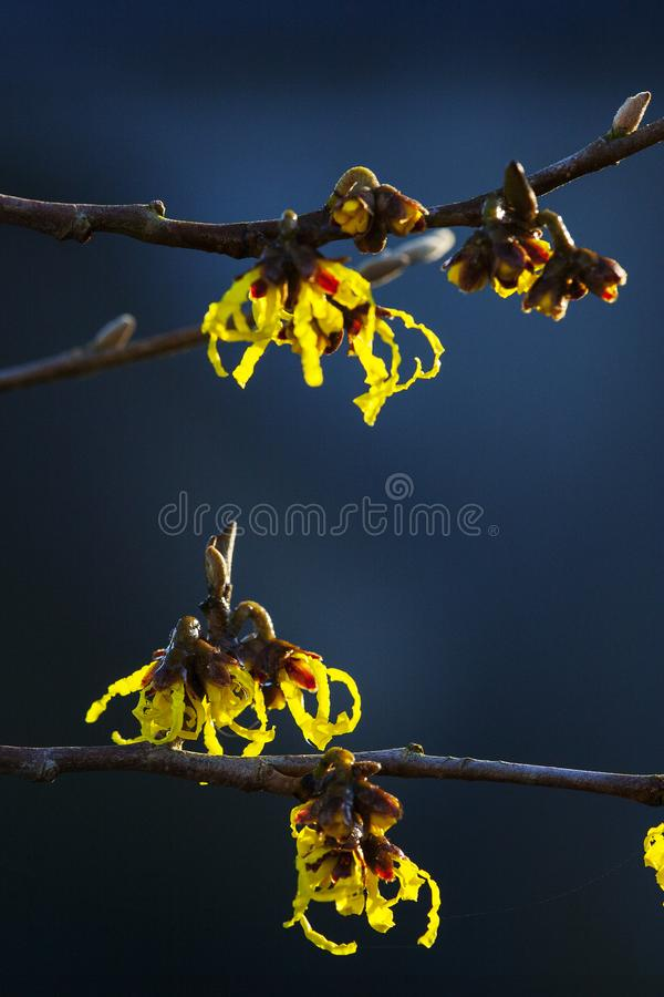 Toverhazelaar, Witch-hazel, Hamamelis × intermedia stock images