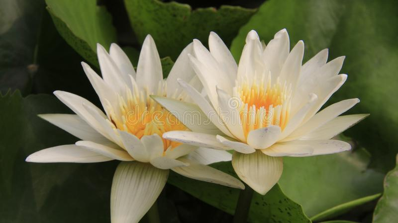 Tow Blossom White Lotus stock afbeelding