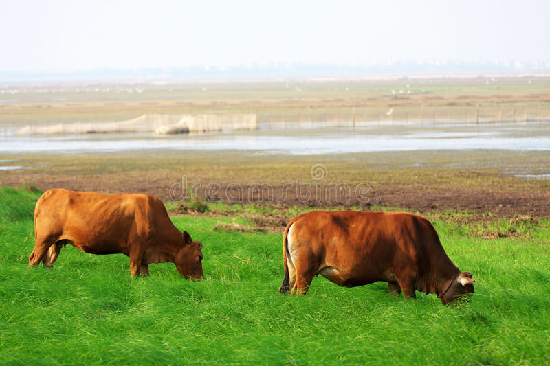 Download Tow Cattle Stock Photography - Image: 11216592
