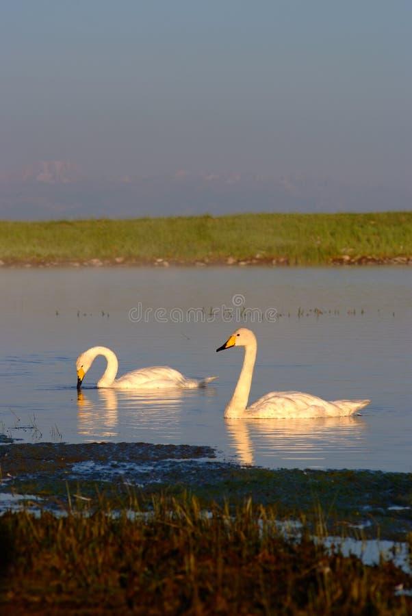Tow Swans im See der Wiese lizenzfreies stockfoto