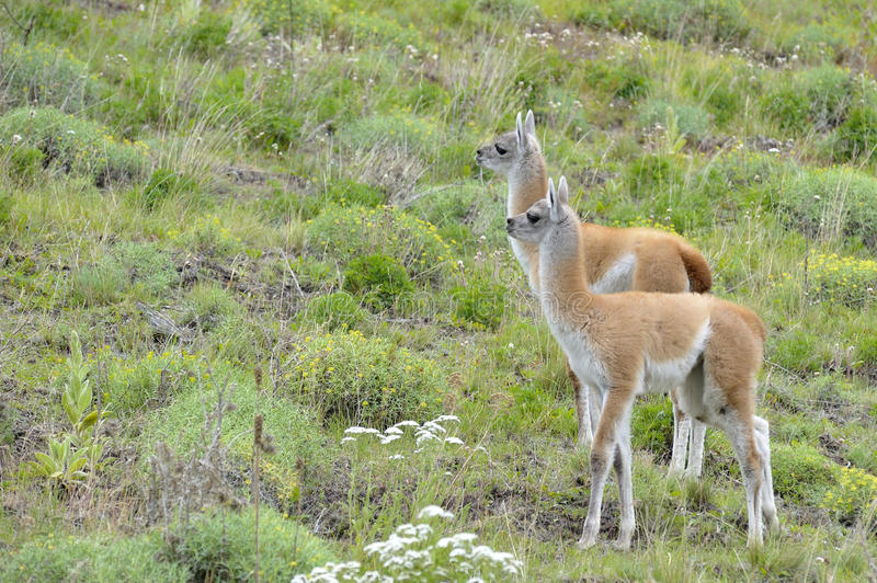 Couple of Young Guanacos. A couple of young guanacos looking at the front in the Austral Road, patagonia Chile royalty free stock photo