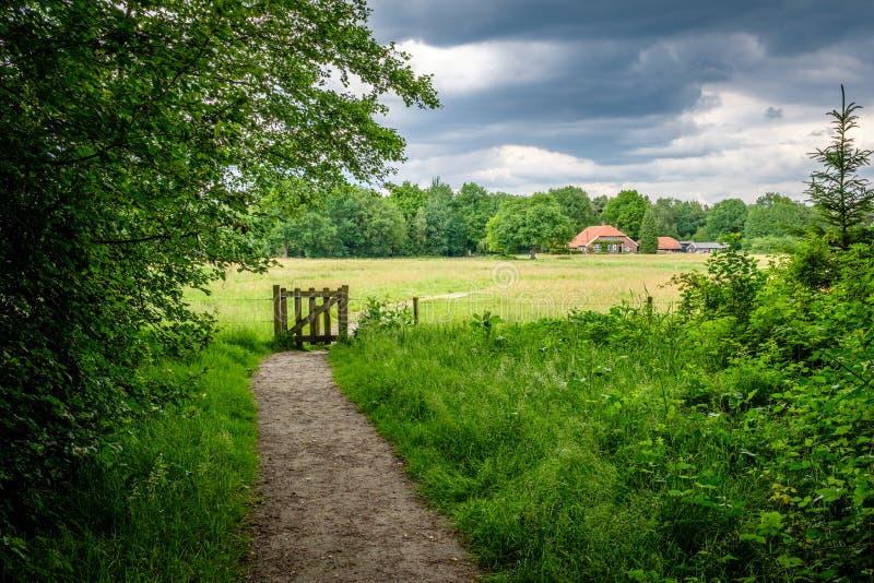 Towars que caminan una granja holandesa típica en junio Twente, Overijssel fotos de archivo