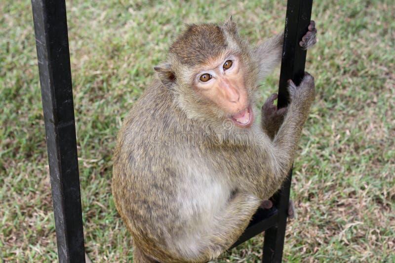Towarzyska małpa Tajlandia, Lopburi miasto, małpi festiwal zdjęcia royalty free