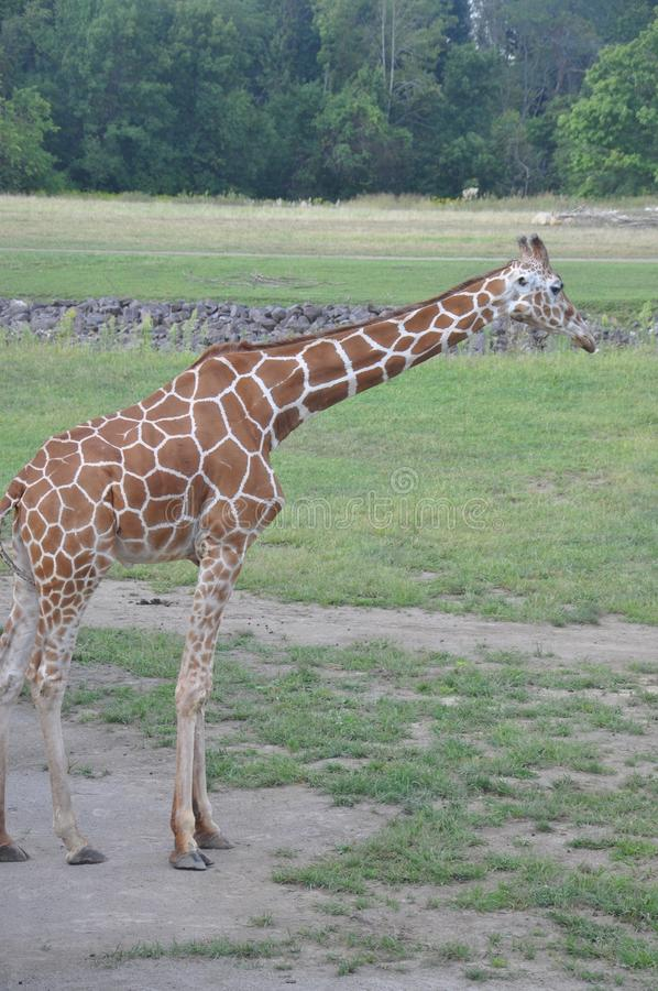 A tower of Giraffe, columbus Zoo, ohio. The giraffe Giraffa is a genus of African even-toed ungulate mammals, the tallest living terrestrial animals and the stock images