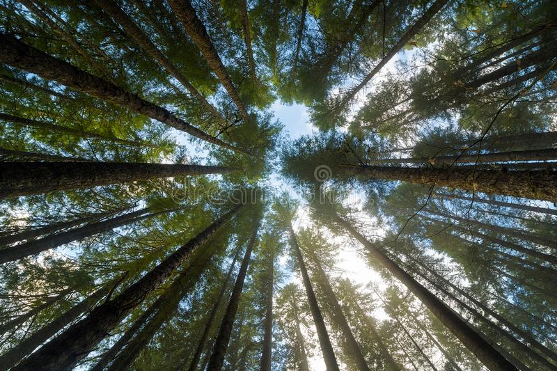 Towering ели в парке штата леса Орегона стоковые изображения
