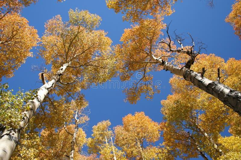Towering Aspen Fall Colors stock photos