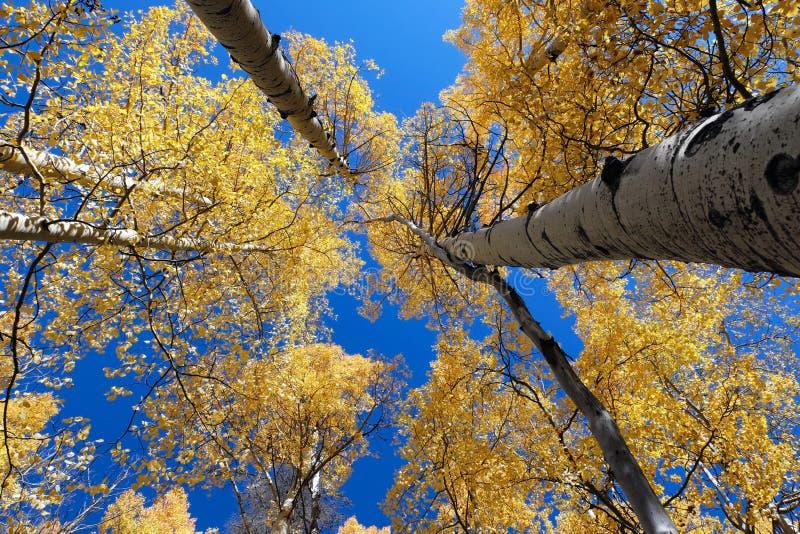 Towering Aspens stock image