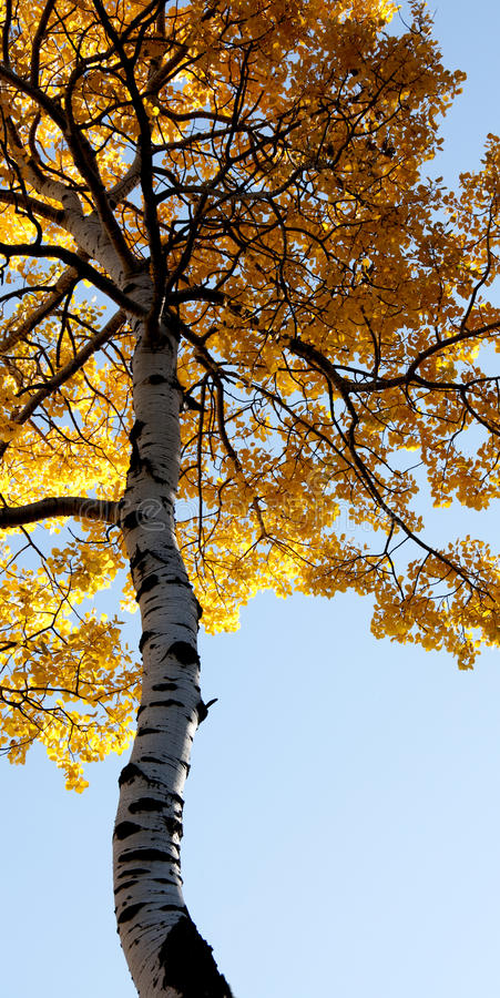 Download Towering autumn tree stock image. Image of branches, forest - 27936279