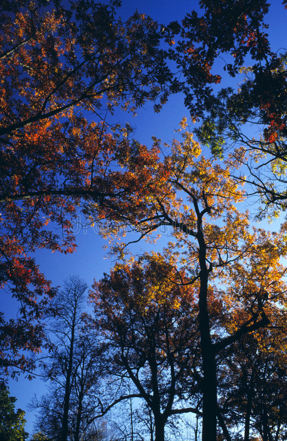 Download Towering Autumn Treetops stock image. Image of above - 14265951