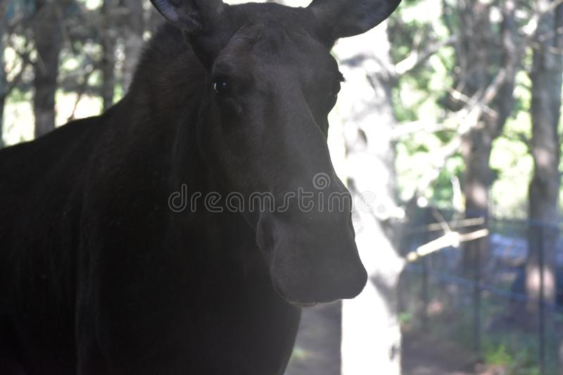 Towering Moose in the Forests of Maine. Maine moose towering over a wooded area royalty free stock image