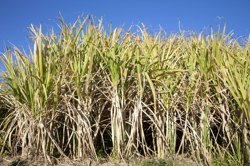 Download Towering Sugar Cane stock image. Image of sugars, tall - 28525033