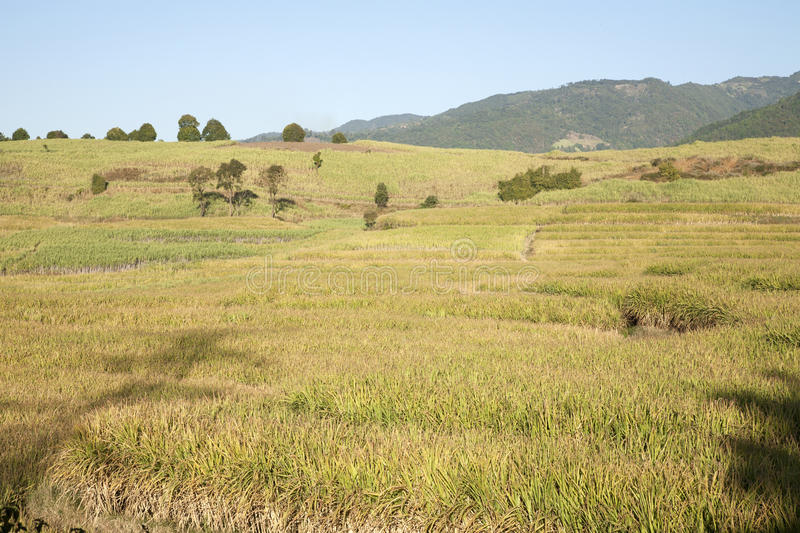 Towering Sugar Cane Fields. Sugar cane growing on a farm in southern China royalty free stock image