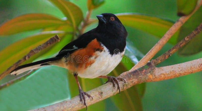 Towhee - fågel i träd arkivfoton