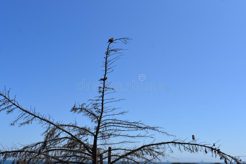 Towhee manchado en un árbol muy desnudo contra un cielo muy azul, 2 imagenes de archivo