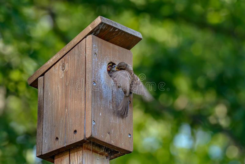 Townsend`s Solitaire royalty free stock photos
