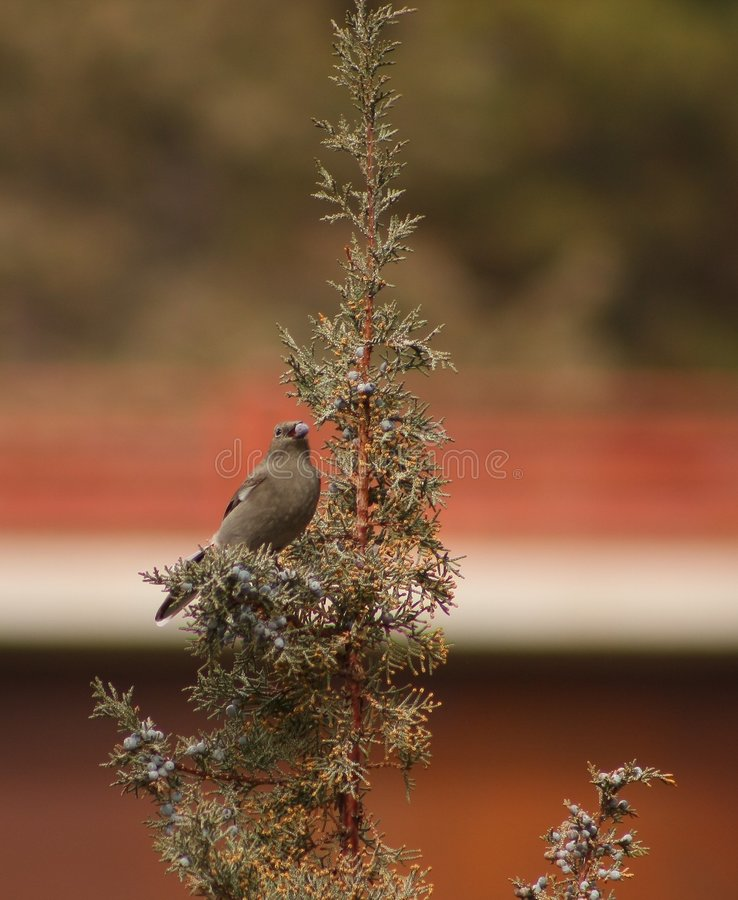 Townsends Solitaire stockfotos