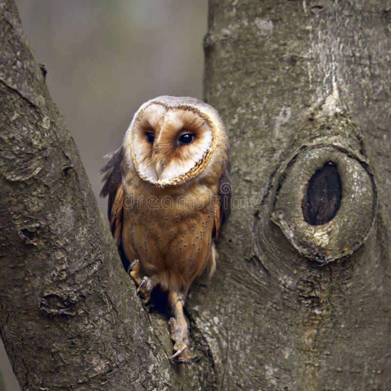 towny owl royaltyfri fotografi