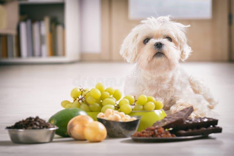 Toxic маленькой собаки и еды к нему стоковое изображение