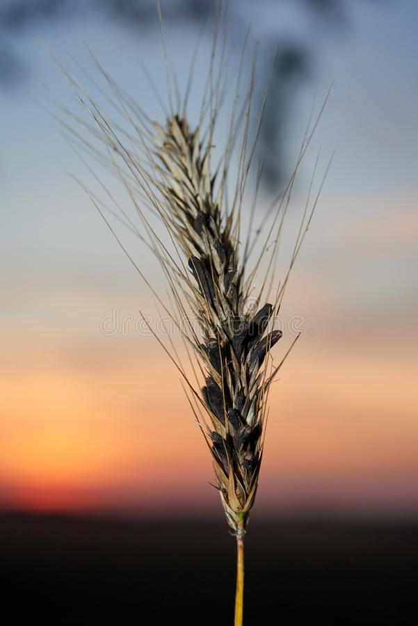 Free Toxic Ergot Wheat Royalty Free Stock Photography - 140329267