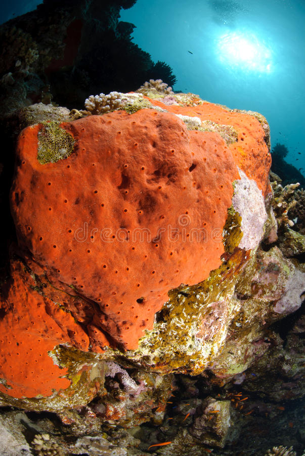 Toxic red sponge. Growing on coral reef substrate royalty free stock images