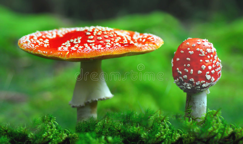 Toxic toadstools. Two red, toxic, toadstools close together royalty free stock photography