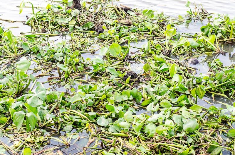Toxines dans la jacinthe de rivière/eau de vert en rivière photos libres de droits