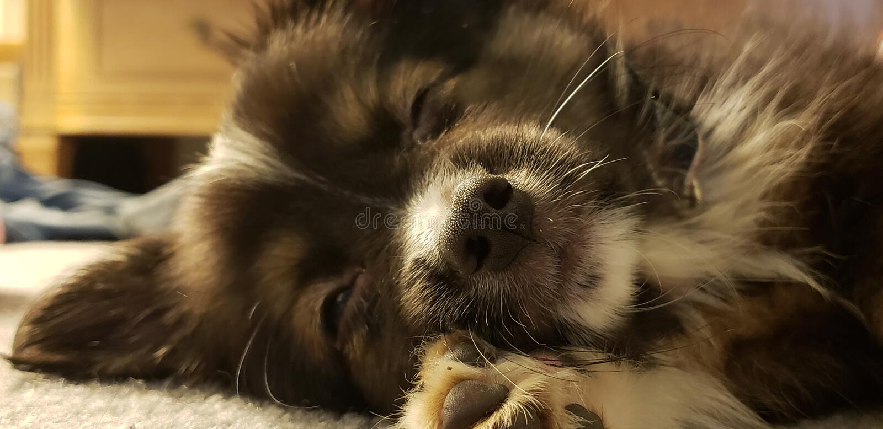 Toy Australian Shepherd sonolento foto de stock royalty free