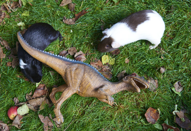 Toy dinosaur monster raptor fighting with new guinea pig on the green grass stock photo