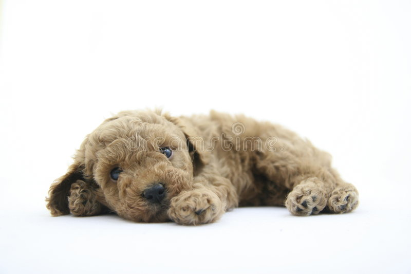 Download Toy dog stock photo. Image of love, mini, lying, puppy - 2638870