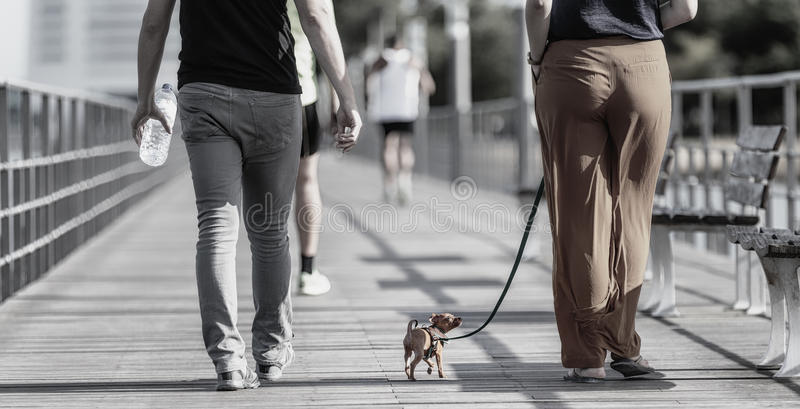Toy dog traditionally refers to a very small dog or a grouping of small and very small breeds of dog. royalty free stock photography