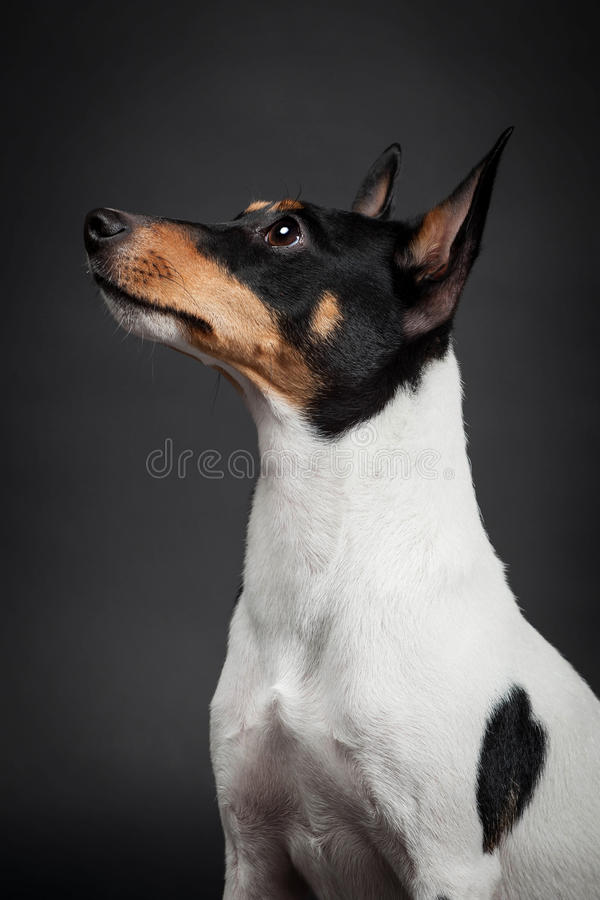 Toy Fox Terrier royaltyfri foto