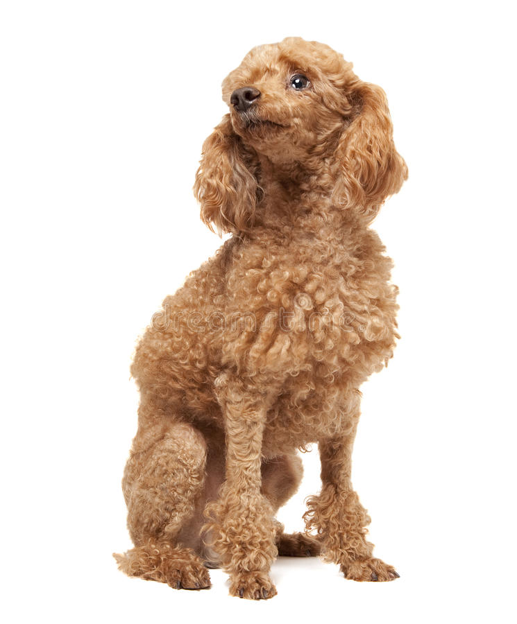 Free Toy Poodle Stock Image - 26128471
