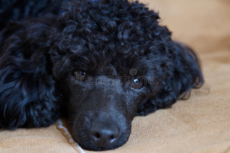 Download Toy poodle stock photo. Image of puppy, relaxing, tired - 27300514