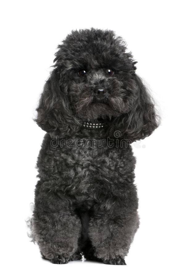 Toy poodle (4 years old) royalty free stock photo