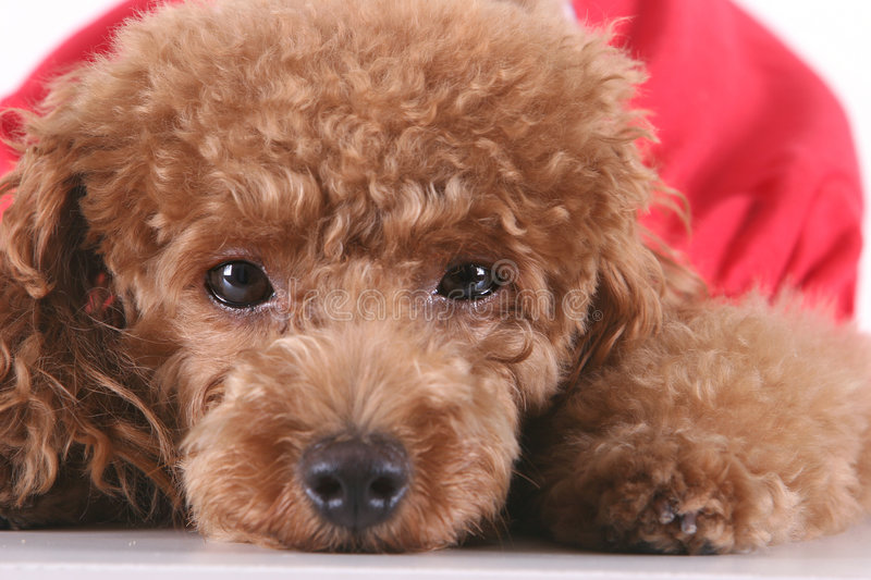 Download Toy Poodle Royalty Free Stock Images - Image: 5264699