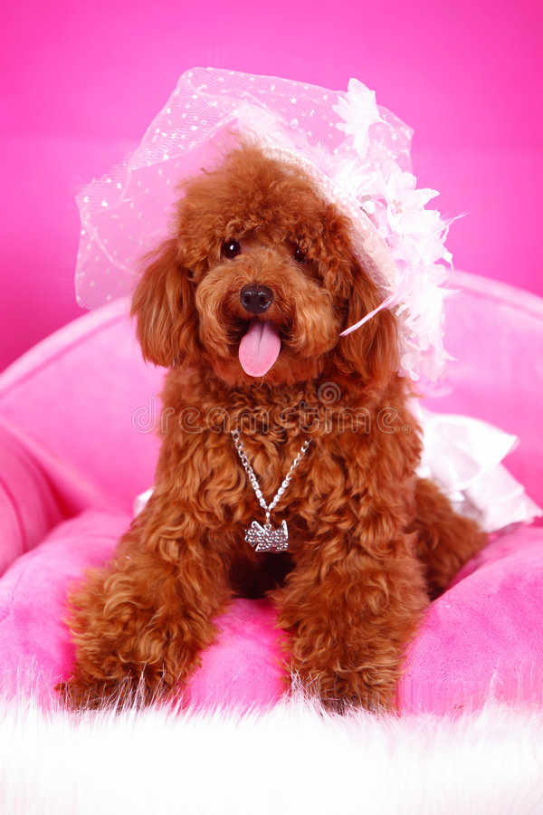 Download Toy poodle stock photo. Image of pets, cute, pedigree - 5542744